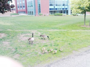 Canadian Geese with goslings - Don't fuck with them!